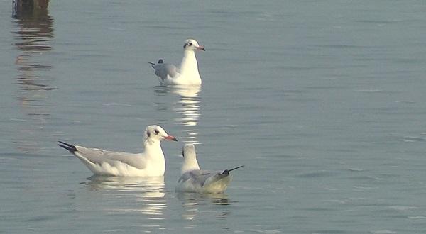 ชมภาพความสวยงามฝูงนกนางนวลลงเล่นน้ำ -หาอาหารริมทะเลบางพระ