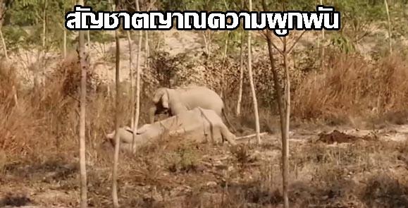 เปิดภาพช้างน้อยเฝ้าแม่ช้างล้มป่วยกลางสวนยางฯ ไม่ห่างจนถูกแดดเผาหนัก จนท. เร่งฉีดน้ำช่วย