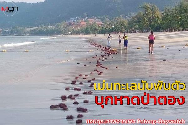 ผิดธรรมชาติ! เม่นทะเลแดงนับพันตัวบุกหาดป่าตอง