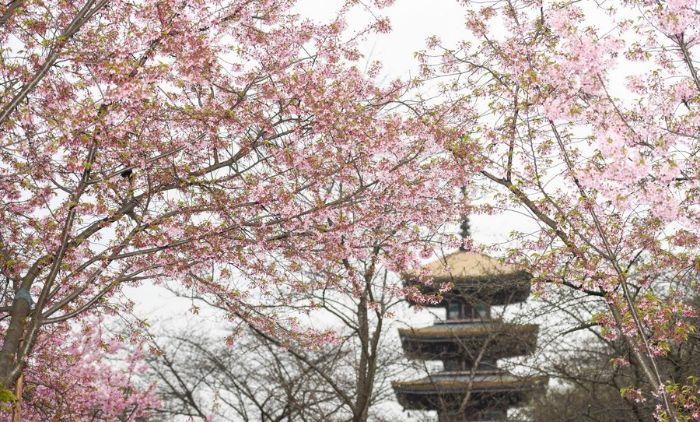 ชมพูสะพรั่ง! ชมภาพ 'เทศกาลดอกซากุระ' ในอู่ฮั่น งดงามทั้งทิวาราตรี