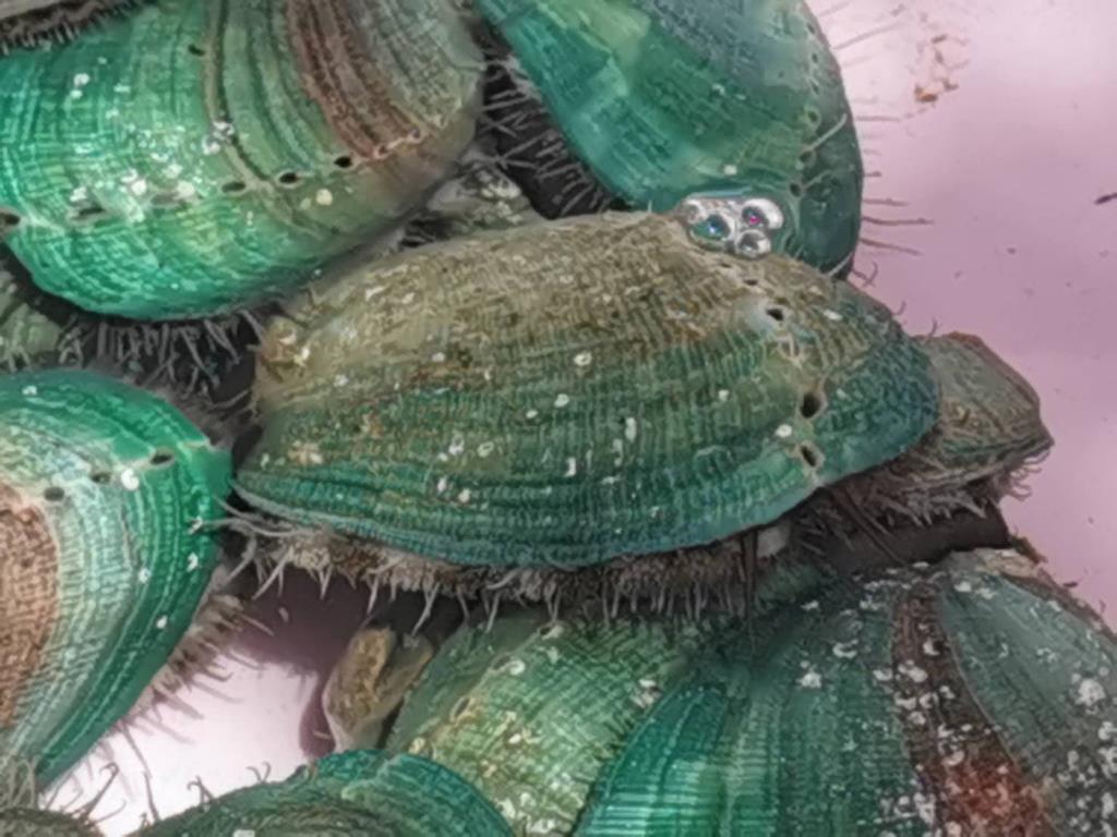 """กรมเจรจาฯ หนุน """"หอยเป๋าฮื้อ"""" ใช้เอฟทีเอส่งออก ชี้ตลาดจีนมีแววรุ่ง"""