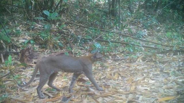 'เสือไฟ' คือแมวป่า หน้าตาแบบไหน! เดินโชว์หน้ากล้องดักถ่าย ที่ขสป.กรมหลวงชุมพร
