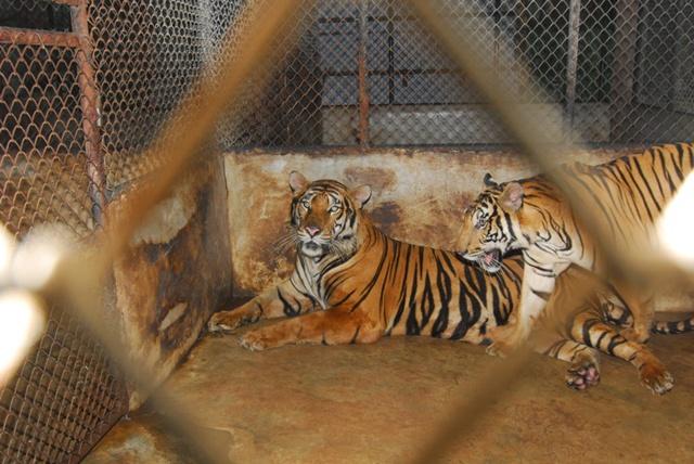 "WWF Thailand เรียกร้องยุดิธุรกิจฟาร์มเสือโคร่ง ""หลังกรมอุทยานฯ นำร่องบุกตรวจฟาร์มเสือมุกดา"""