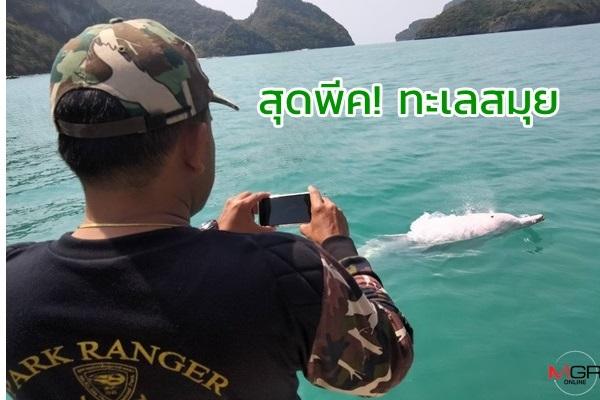 ทะเลสมุยพีคสุด! โลมาสีชมพู 4 ตัวว่ายน้ำอวดโฉมอย่างสนุกสนาน