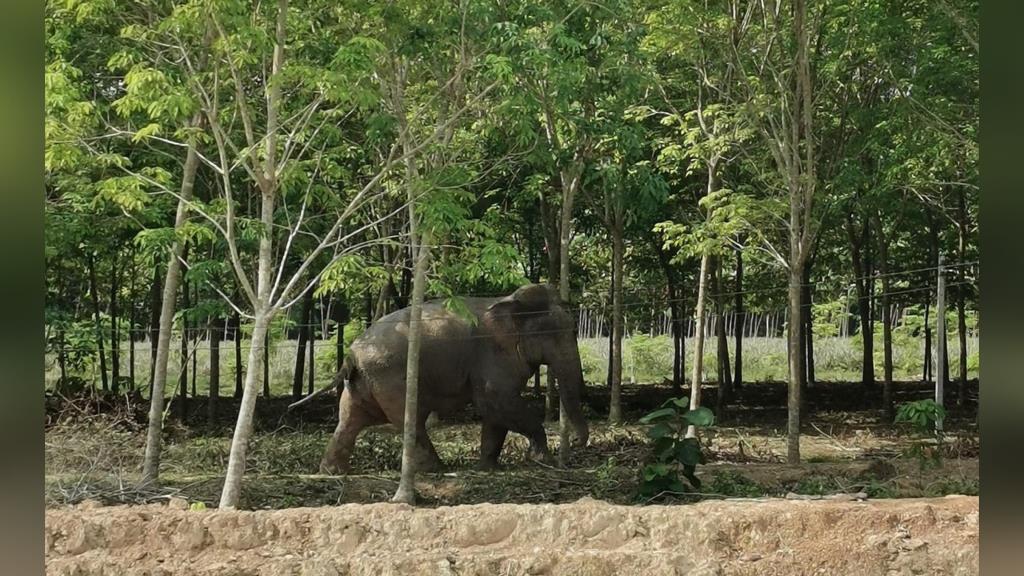 """หนุ่มระบาย! แม่ถูกช้างทำร้ายจนเสียชีวิต  ไร้คนเยียวยา-รับผิดชอบ ย้ำ """"ช้างปล่อย ไม่ใช่ช้างป่า"""""""