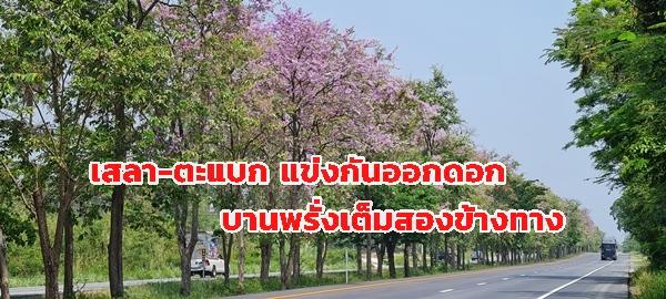 ชมความงาม  ดอกเสลาสีม่วงบานสะพรั่ง ริมถนนเพชรเกษมทั้ง ขึ้น-ล่องภาคใต้