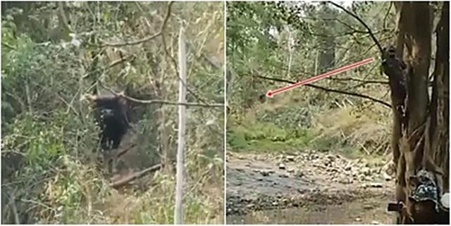 """เจ้ากระทิง งงงวย!!...เจ้าหน้าที่พิทักษ์ป่าตกใจปีนขึ้นต้นไม้ รับสารภาพ """"คิดว่าเป็นช้างป่า"""" [ชมคลิป]"""