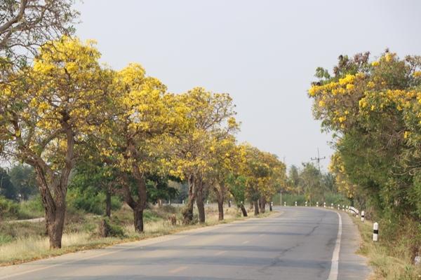 ชม ความสวยงามหน้าแล้ง ตาเบบูญ่า  พักสายตาของคนใช้ถนน เบ่งบานเหลืองอร่าม
