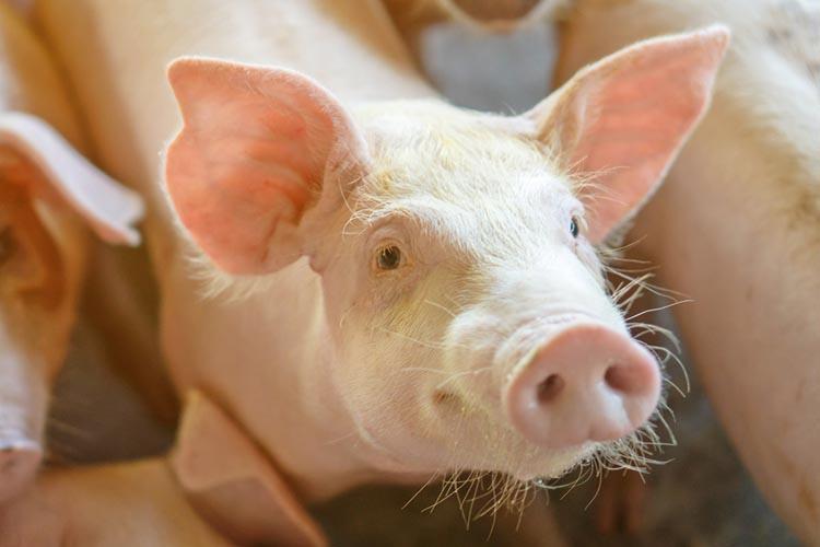 ภัยแล้งกระทบคนเลี้ยงหมู ซื้อน้ำ-เพิ่มต้นทุน เสี่ยงโรคฤดูร้อน-วัตถุดิบอาหารสัตว์พุ่ง