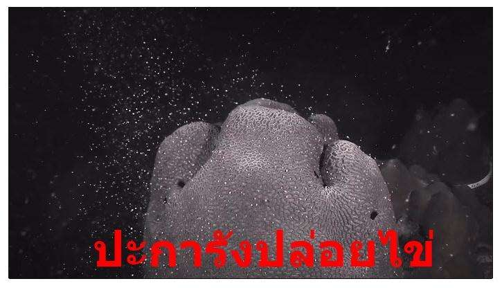 หาชมยาก!! ปะการังปล่อยไข่ เกาะมาตรา จ.ชุมพร ปีละครั้งเท่านั้น