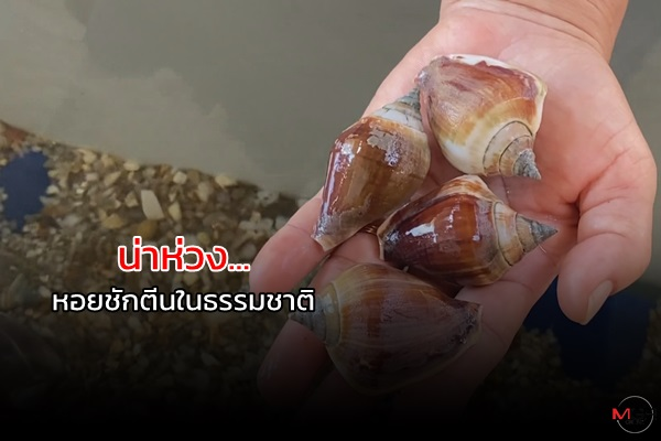 """""""หอยชักตีน"""" กำลังแย่แห่จับกิน – ขาย ทำราคาดี เร่งเพาะขยายพันธุ์"""