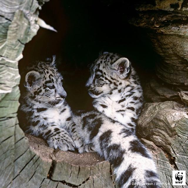 ลูกๆ ของเจ้าแมวตัวโต (เสือดาวหิมะ) ที่มองโกเลีย