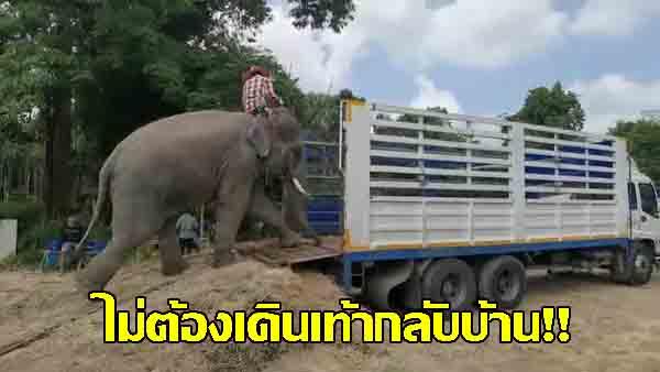 ไม่ต้องเดินเท้า ! สมาคมสหพันธ์ช้างไทย-ผู้ใจบุญช่วยนำรถบรรทุกช้างกลับสุรินทร์-บุรีรัมย์