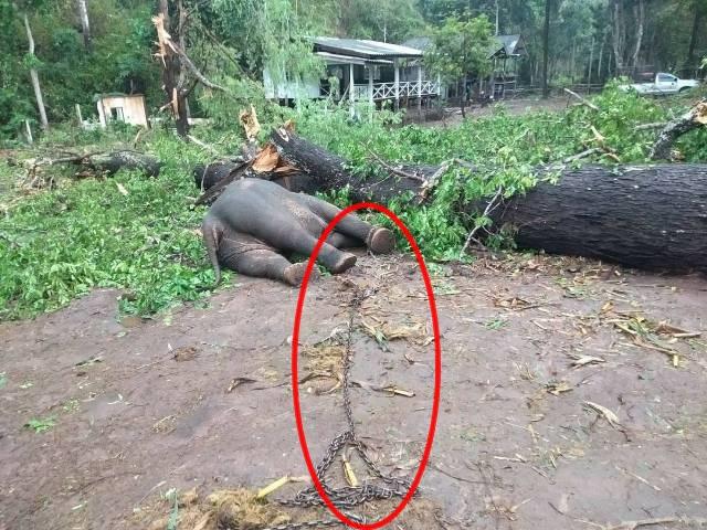 สะเทือนใจกันทั่ว!พายุฤดูร้อนพัดถล่มแม่วาง-เชียงใหม่ ต้นไม้ล้มทับช้างตาย 2 เชือก เจ็บ 4