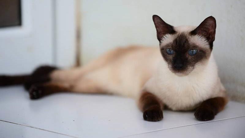 ทาสแมวมีเฮ! ทำความรู้จัก  แมวมงคลโบราณพันธุ์ไทยแท้