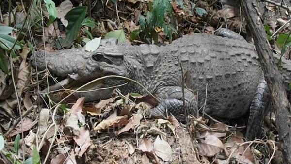 เจ้าตัวนี้ พบเมื่อปี 2557 ในเขตอุทยานแห่งชาติทุ่งแสลงหลวง บนเทือกเขาชมพู ต.ชมพู อ.เนินมะปราง จ.พิษณุโลก