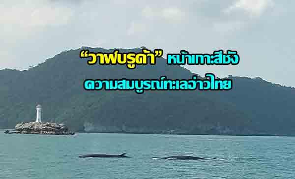 """เผยภาพ""""วาฬบรูด้า """"แหวกว่ายหากินหน้าทะเลเกาะสีชังตอกย้ำความสมบูรณ์ทางธรรมชาติ"""