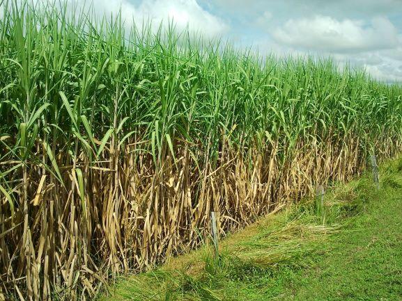 ลุ้นข่าวดีราคาน้ำตาลโลกพุ่งดันค่าอ้อยขั้นต้นปี'64/65ลุ้นทะลุ1,000บาท