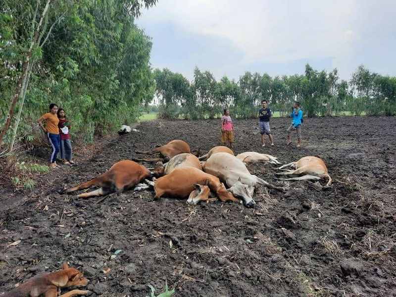 ฟ้าฝ่าเปรี้ยงเดียว!วัวล้มตายเกลื่อนทุ่งทั้งฝูง11ตัว เจ้าของเห็นเข่าแทบทรุด