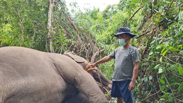 น่าเสียดาย ! ช้างพังนำเที่ยวในเมืองพัทยาถูกฟ้าผ่าตายหลังเกิดฝนหนักฟ้าคะนอง