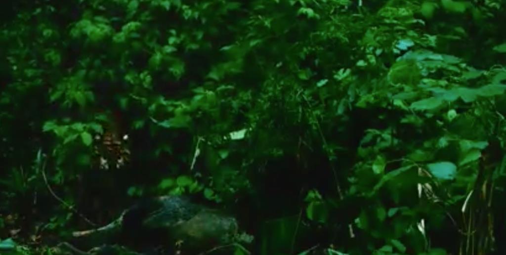 """พบ """"เสือโคร่ง"""" ล่ากวางป่า การันตีความสมบูรณ์ผืนป่า อช.แม่วงก์"""