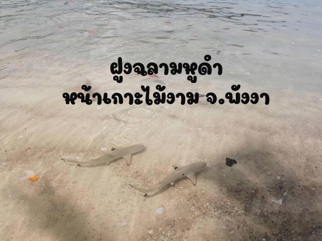 """ฝูง """"ฉลามหูดำ"""" นับ 10 ตัว แหวกว่ายหน้าหาดไม้งาม ช่วงปิดการท่องเที่ยว"""