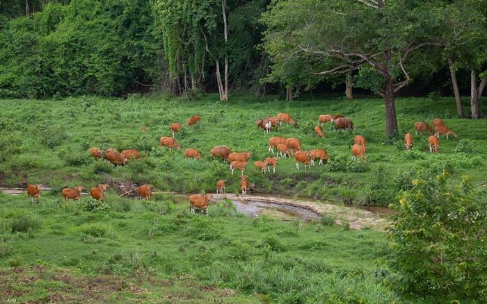 ตอกย้ำผืนป่าห้วยขาแข้ง สมบูรณ์มาก! ฝูงวัวแดงกว่า 60 ตัว ลงหากินที่โป่งช้างเผือกต่อเนื่อง