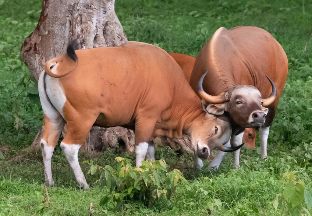 ตื่นตา! เผยภาพฝูงวัวแดงกว่า 60 ตัว ออกหากินป่าห้วยขาแข้ง ตอกย้ำความสมบูรณ์ของผืนป่า