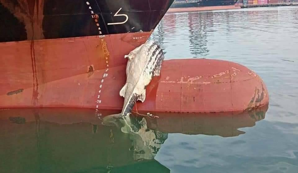 ทช.เร่งตรวจสอบ พบซากปลาฉลามวาฬ ตายติดหัวเรือเดินสมุทร จากเซี่ยงไฮ้ เข้าจอดท่าแหลมฉบัง