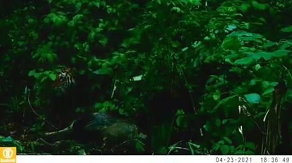 เสือโคร่งวัยรุ่นลากเหยื่อ! ในผืนป่า อช.แม่วงก์ บ่งชี้ความสำเร็จการป้องกันพื้นที่ป่า [ชมคลิป]