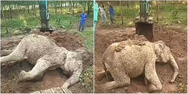 ลุ้นระทึก ช้างป่าพังยายเกตุ ลื่นล้ม!! เหตุฝนตกหนักในพื้นที่ เจ้าหน้าที่-ทีมสัตวแพทย์-อาสาพิทักษ์ช้าง รุดช่วยพยุงจนลุกยืนได้ปลอดภัย [ชมคลิป]