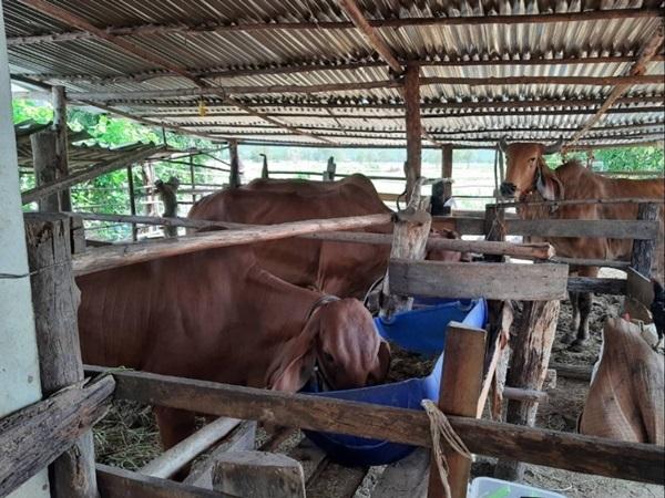 """ระบาดถึงชายแดนโรคอุบัติใหม่ในวัว """"ลัมปี สกิน""""ทำเกษตรกรสระแก้วเดือดร้อนหนัก"""