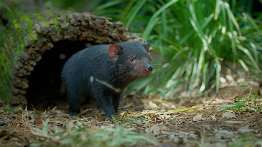 สัตว์มีกระเป๋าหน้าท้องกินเนื้อที่ใหญ่ที่สุดในโลก  (ภาพจากเพจ Aussie Ark)