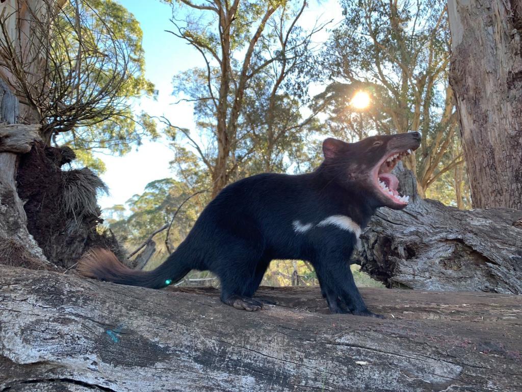 มีขนาดเท่าสุนัขตัวเล็ก แต่ดุร้ายมาก  (ภาพจากเพจ Aussie Ark)