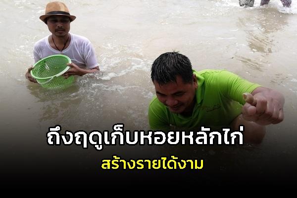 ถึงฤดูเก็บหอยหลักไก่ หอยแครง ที่ถูกคลื่นซัดเกยหาดในช่วงมรสุม สร้างรายได้งามวันละ 500 บาท