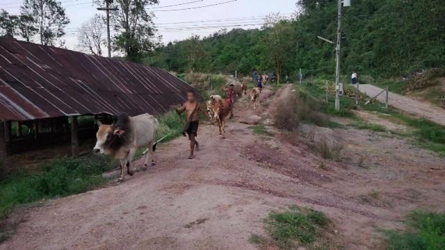ทพ.เฝ้าสกัดขบวนการนำเข้าวัว-ควายเถื่อน กันโรลีมปีสกินระบาดเพิ่ม
