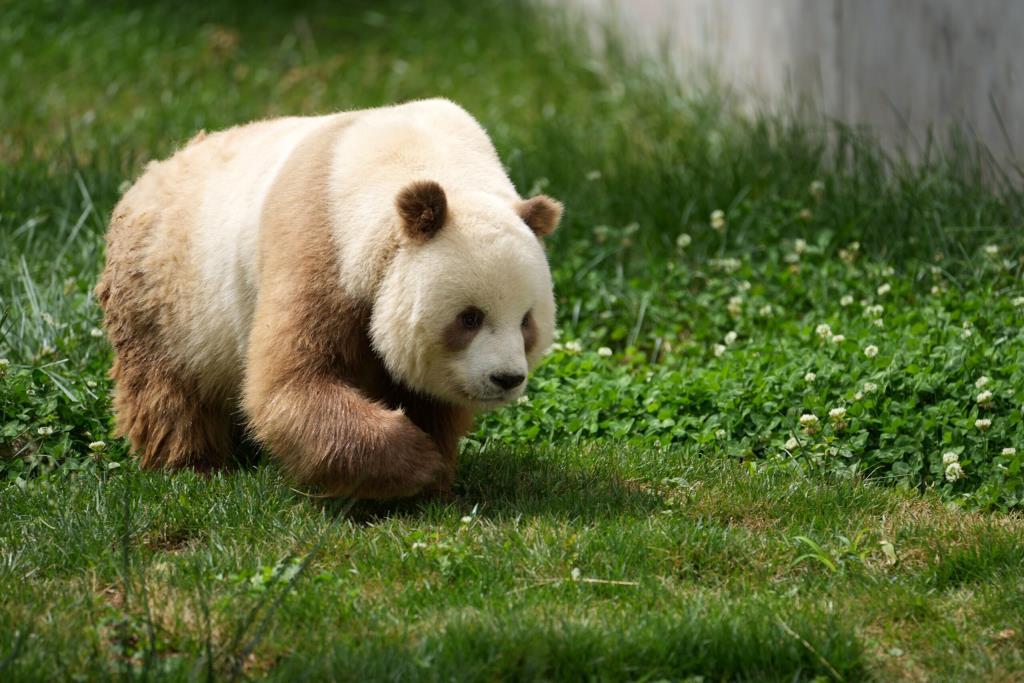 """น่ารัก! """"ชีไจ่"""" แพนด้ายักษ์สีน้ำตาลมนุษย์เลี้ยงตัวเดียวในโลก อวดโฉมต่อชาวจีนที่ส่านซี"""