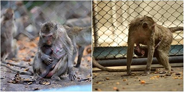 """น้องเอ็นดู! """"ลูกลิงแสมเกิดใหม่"""" จากของกลางที่จับกุม ณ ศูนย์ช่วยเหลือสัตว์ป่าที่ 1 (นครนายก)"""