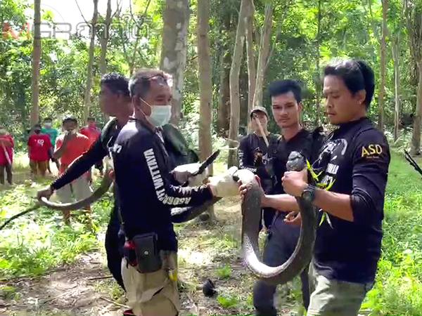 ทีมปราบอสรพิษจับได้แล้ว 1 ในงูจงอางอาละวาดกัดคนและสัตว์เลี้ยงที่บ้านโคกกอ