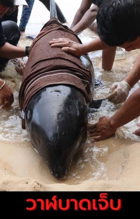เร่งช่วยชีวิต!! วาฬหัวแตงโม เกยตื้น-บาดเจ็บ