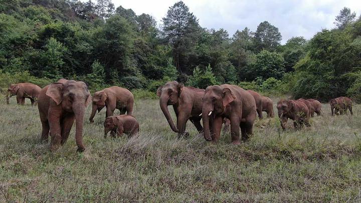 โขลงช้างป่าสายพันธุ์เอเชีย จากสิบสองปันนาอพยพขึ้นเหนือ โดยที่ไม่มีใครรู้สาเหตุที่แน่ชัด ว่าพวกมันจะไปไหน และจะหยุดเดินทางเมื่อไหร่ (แฟ้มภาพซินหัว)