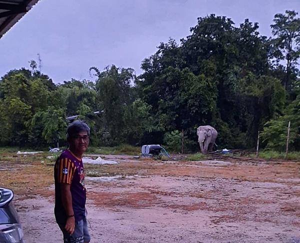 'พลายสาริกา' เยี่ยมบ้านลุงหมู 'บดินทร์ จันทศรีคำ' [ชมคลิป] เหมือนว่าช้างมาเตือน! ก่อนประสบอุบัติเหตุ