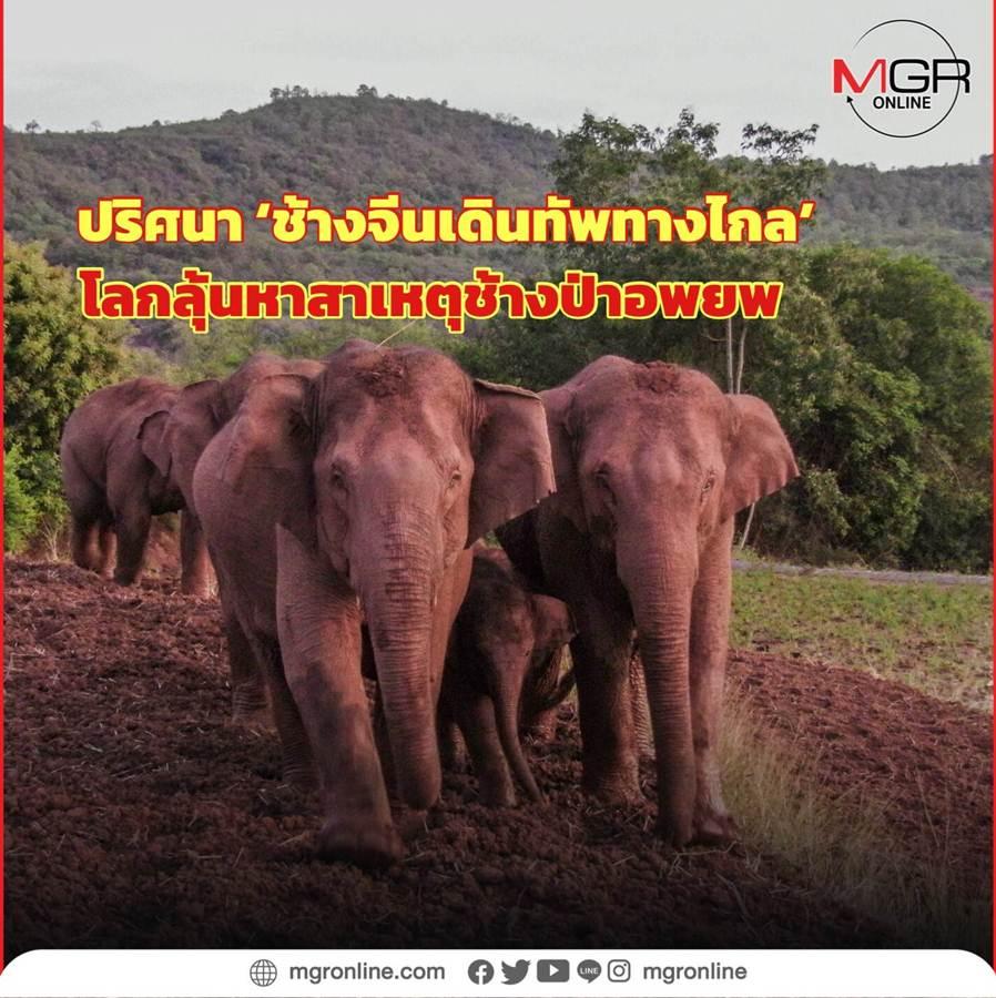 โขลงช้างป่าเอเชียจากเขตอนุรักษ์แคว้นปกครองตัวเองชนชาไตแห่งสิบสองปันนา มณฑลยูนนาน อพยพออกจากแหล่งที่อยู่อาศัยเดิมสิบสองปันนาเป็นเวลาปีกว่า รอนแรมเป็นระยะทางไกล 500 กิโลเมตร (แฟ้มภาพ ซินหัว)