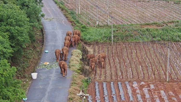 """ผู้เชี่ยวชาญในสมาคมสวนสัตว์แห่งลอนดอน กล่าวถึงช้างป่าจีนอพยพยขึ้นเหนือว่า """"ควรใช้เหตุการณ์นี้ปลุกกระแสความสนใจปัญหาการอยู่ร่วมระหว่างคนกับสัตว์"""""""