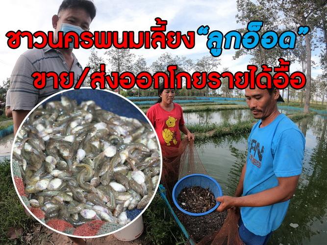 """ชาวเรณูนครเลี้ยง """"ลูกอ็อด-กบ""""ขายทั่วไทยและส่งออกโกยรายได้ทั้งปี"""