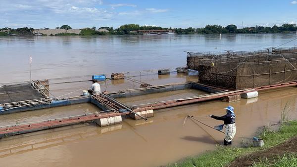 ฝนตกหลายวัน! น้ำโขงหนองคายเพิ่มถึง 2 เมตร กระทบผู้เลี้ยงปลานิลหวั่นกระชังหลุด