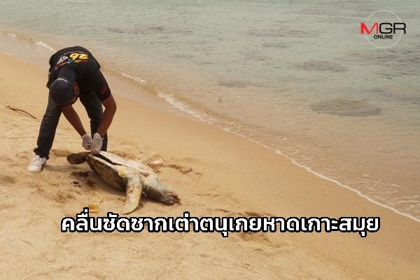 พบซากเต่าตนุ ถูกคลื่นซัดเกยหาดเกาะสมุย พบรอยซ้ำที่ขาและลำตัว ผ่าพิสูจน์กระเพาะอาหารปกติ