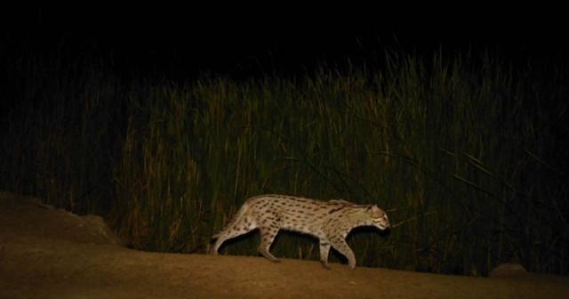 """กล้องดักถ่าย จับภาพ """"เสือปลา"""" สัตว์ป่าหายากที่หาทางรอด รอบพื้นที่วนอุทยานเขานางพันธุรัต"""
