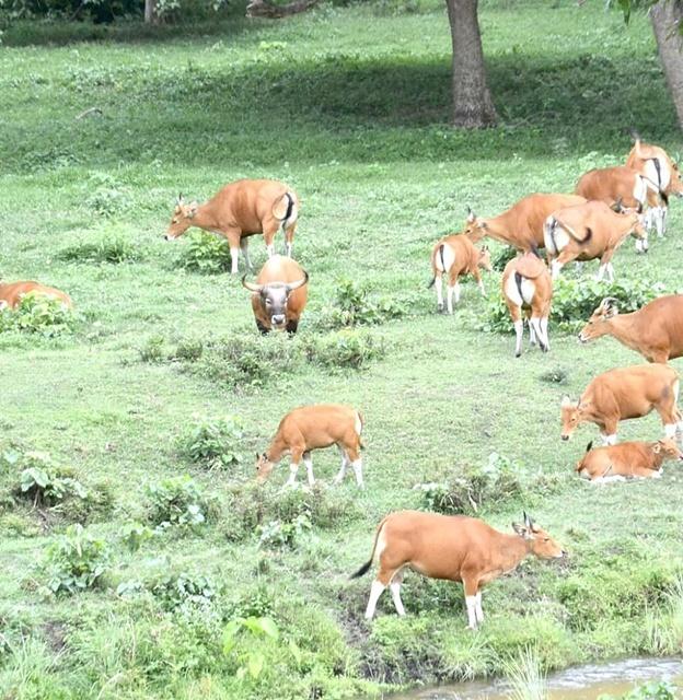 ชมฝูงวัวแดง อวดโฉมเต็มทุ่ง!  1 ใน 7 สัตว์ป่าที่ยิ่งใหญ่แห่งห้วยขาแข้ง และผู้มีอุปการะคุณแห่งพงไพร