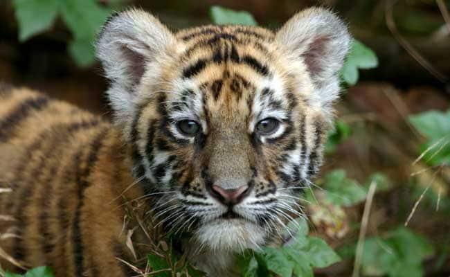 อินเดีย ดินแดนแห่งเสือโคร่ง! กล้องดักถ่าย พบลูกเสือใหม่ 41 ตัว ในเขตอนุรักษ์ Bandhavgarh